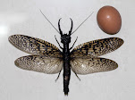 Corydalidae