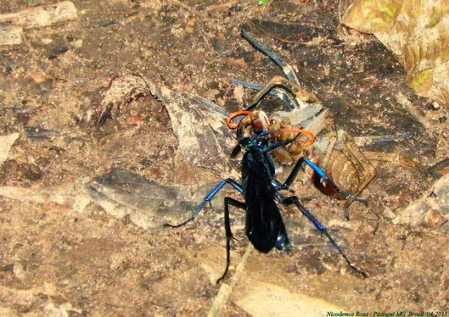 Pompilidae : Guêpe Pepsis en action contre une araignée. Pitangui (MG, Brésil), 15 avril 2013. Photo : Nicodemos Rosa