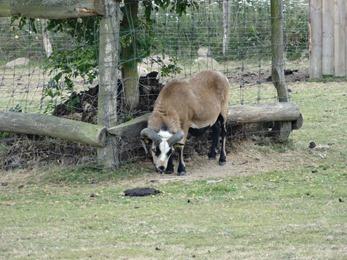 2018.07.19-031 mouton du Cameroun