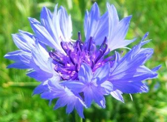 Chaber bławatek Centaurea cyanus