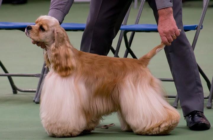 Chó Cocker Spaniel, chó Tây Ban Nha. Cách nuôi chó Cocker ở Việt Nam