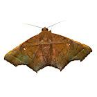 Brown Kite Moth