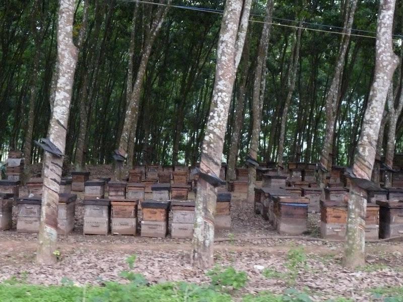 Hévéas et ruches