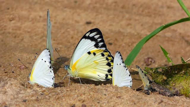 Belenois theora (DOUBLEDAY, 1846), au centre, et Appias sabina (FELDER & FELDER, [1865]). Bobiri Forest (Ghana), 4 décembre 2013. Photo : J.-F. Christensen