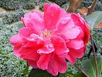 暗紫紅色 白筋あり 千〜牡丹咲き 大〜極大輪