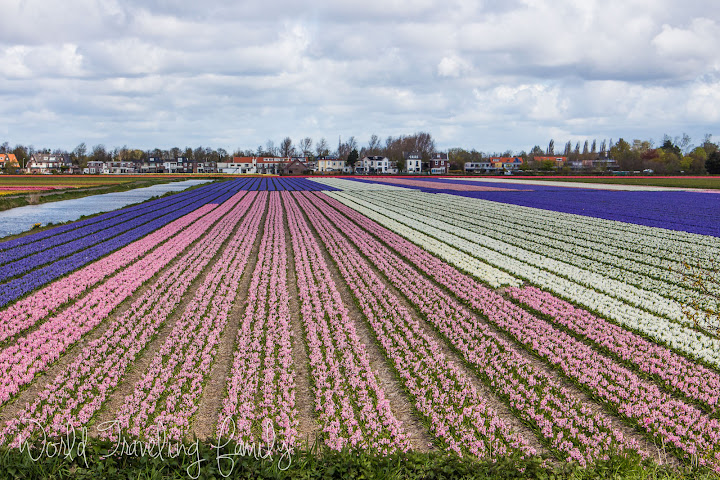 Biking Through The Tulip Fields Lisse Netherlands World