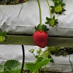Cameron Highlands - Erdbeerfarm