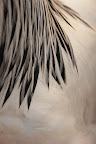 PREND TA PLUME     Détails du plumage d'un coq, Salon de l'Agriculture