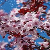 Cherry Blossom HD Snowfall Lwp