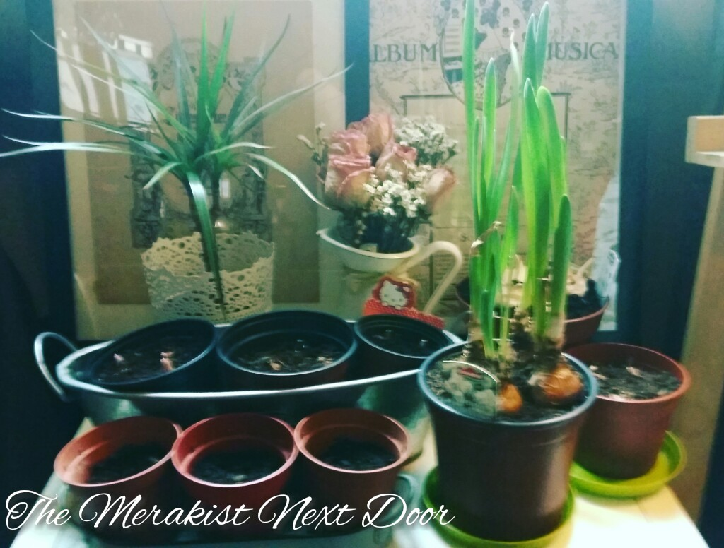 the merakist next door planting bulbs 1 anemones muscari. Black Bedroom Furniture Sets. Home Design Ideas