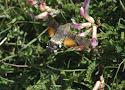 23 kolibrievlinder.jpg
