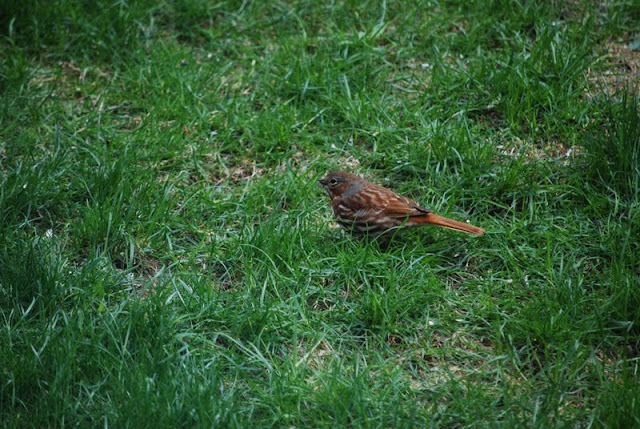 Fox Sparrow (Marcel Boulay)