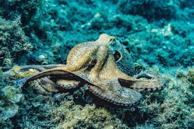 ऑक्टोपस के बारे में 30 रोचक जानकारी | Octopus Interesting Facts, Information In Hindi