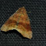 Noctuidae : Catocalinae : Dysgonia hamatilis GUÉNÉE, 1852. Umina Beach (New South Wales, Australie), 6 mars 2011. Photo : Barbara Kedzierski