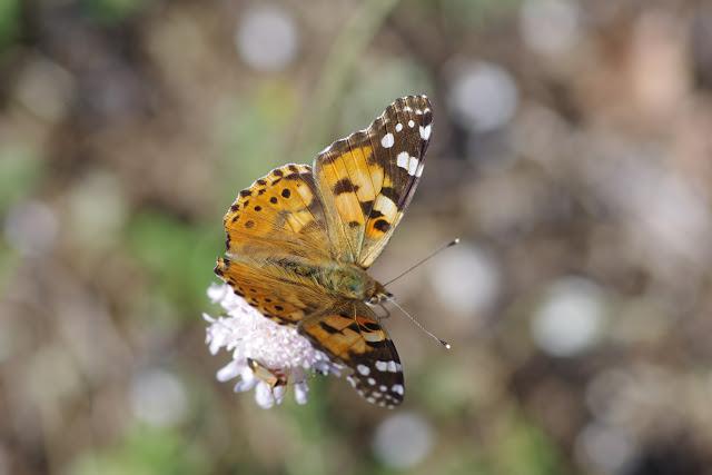 Vanessa cardui (Linnaeus, 1758). Les Hautes-Courennes, Saint-Martin-de-Castillon (Vaucluse), 15 juin 2015. Photo : J.-M. Gayman