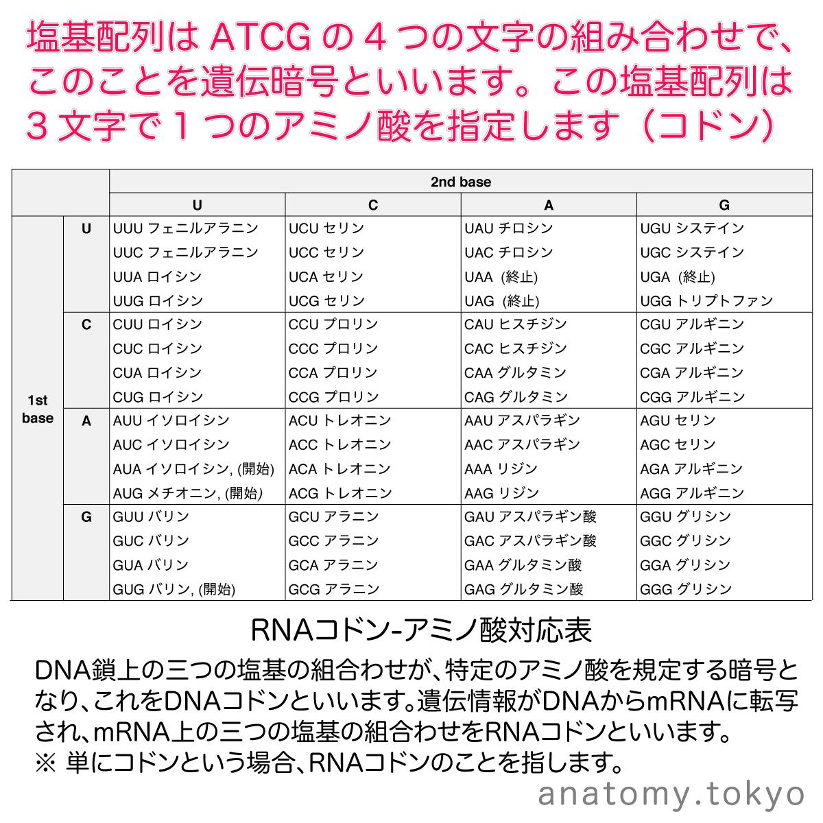 t112-25-遺伝暗号・コドン.png