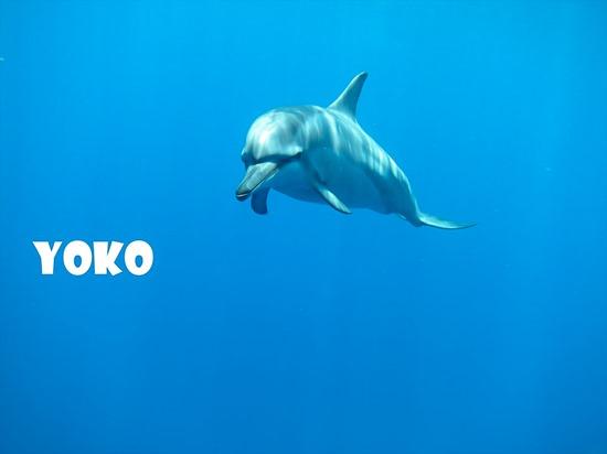 ハワイ島のようこさんのイルカ