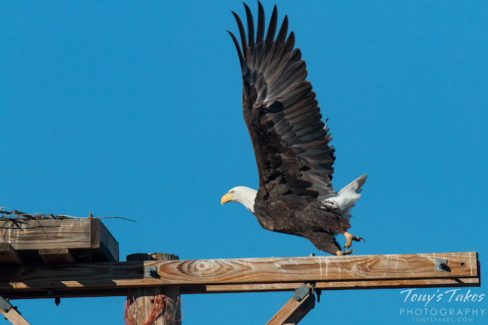 Bald Eagle male takes flight. 3 of 6. (© Tony's Takes)