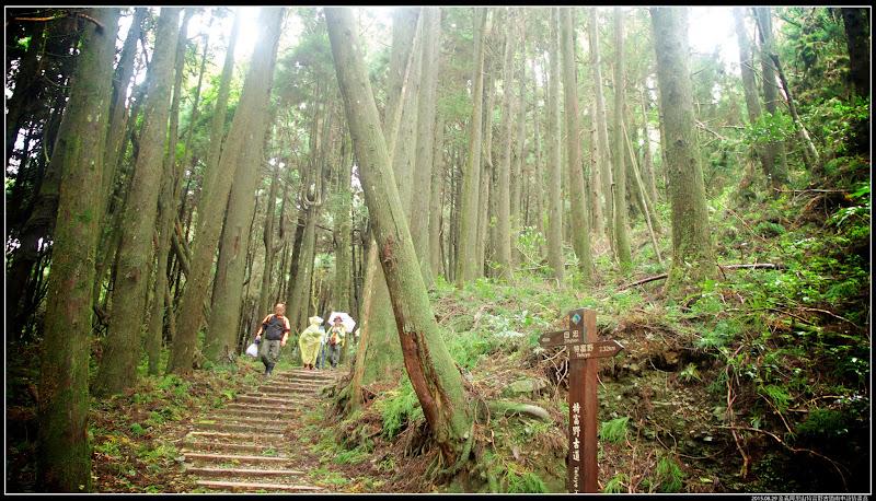 古道杉木林