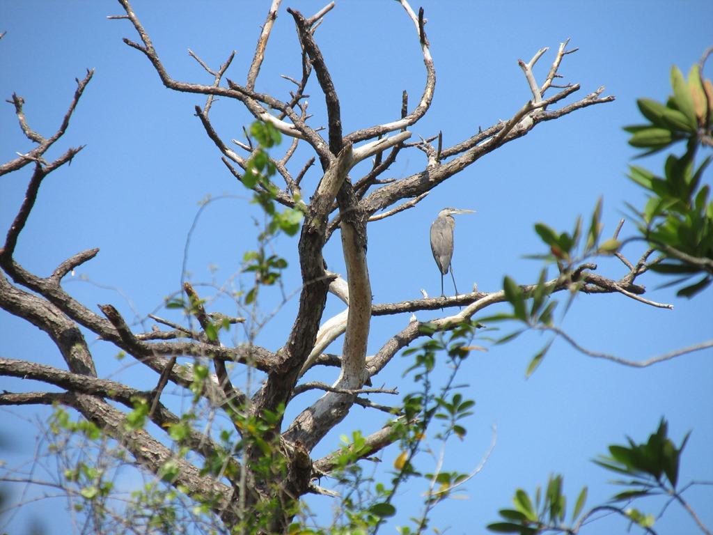 [Ais-Trail---Great-Blue-Heron-Bird-25]