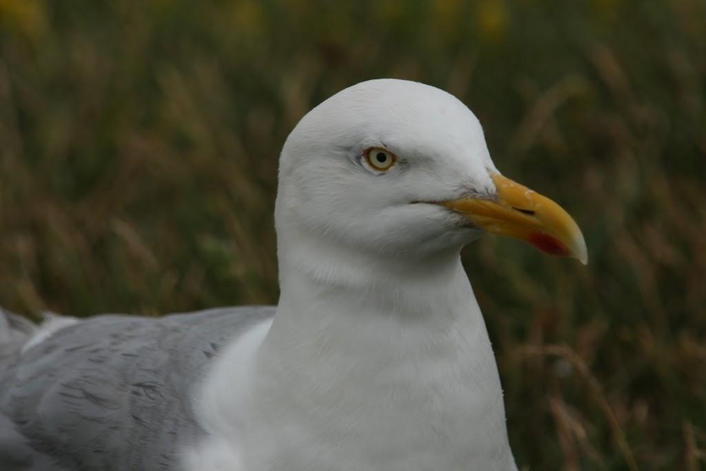 Auch Möwen nisten gerne auf Helgoland.
