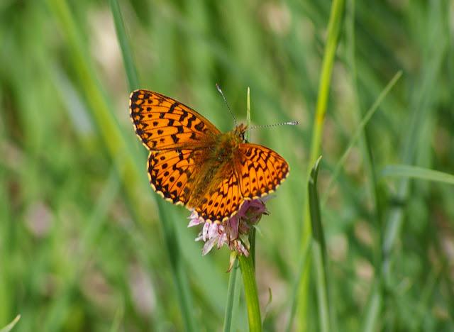 Clossiana titania titiana ESPER, 1793 (2180 m). Maurin, 11 juillet 2010. Photo : J.-M. Gayman