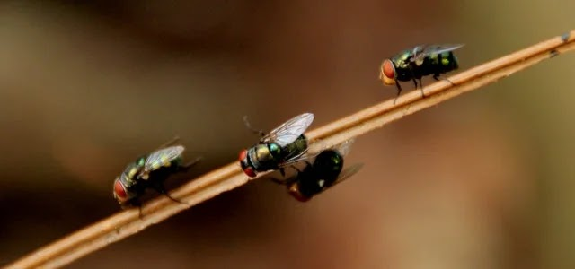 Common houseflies as pests
