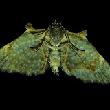 Geometridae : Larentiinae : Phrissogonus laticostata WALKER, 1862 (verso). Umina Beach (NSW, Australie), 8 novembre 2011. Photo : Barbara Kedzierski