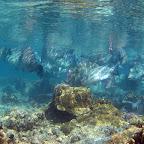 School of large bump head parrotfish (Sipadan)