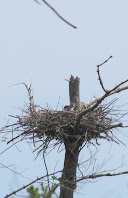Heron Colony at Libby Hill-008.JPG
