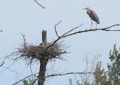 Heron Colony at Libby Hill-008.JPG