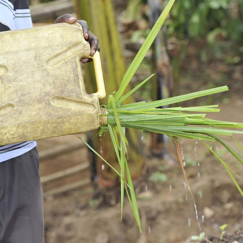 Napier grass in the neck of a jerry can to sprinkle water over seedlings