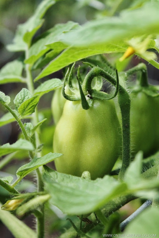 Roma tomato on the vine