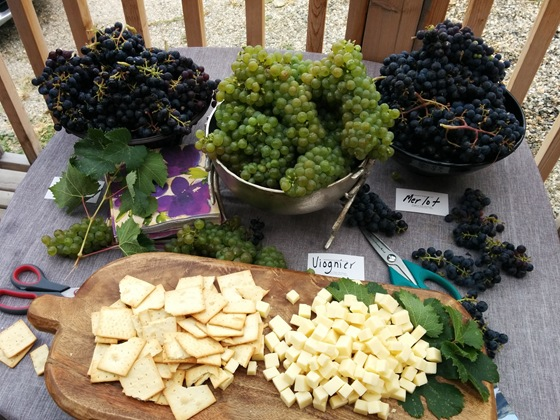 Freshly picked grapes from the Hugging Tree's vineyards