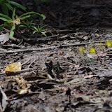 Au premier plan : Papilio bromius DOUBLEDAY, 1845 et Graphium policenes CRAMER, 1775. Au second : Eurema senegalensis BOISDUVAL, [1836]. Au troisième : lycènes. Berges de la Soo (affluent du fleuve Nyong), Ebogo (Cameroun), 8 avril 2012. Photo : J.-M. Gayman