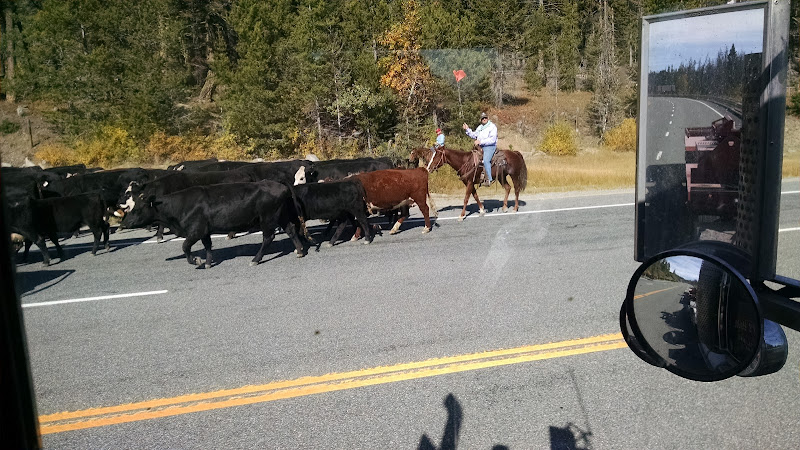 truckers picture rancher driving cattle down the road