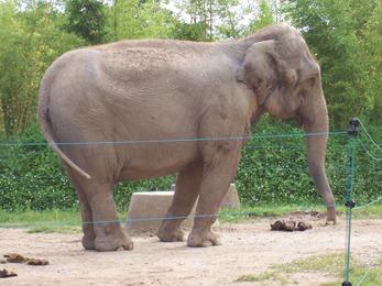 2007.07.05-008 éléphant d'Asie