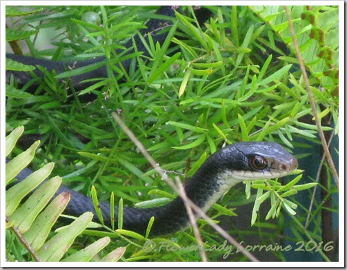 06-17-blk-snake2