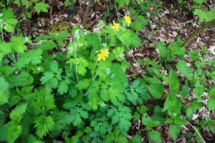 Glistnik jaskółcze ziele Chelidonium majus