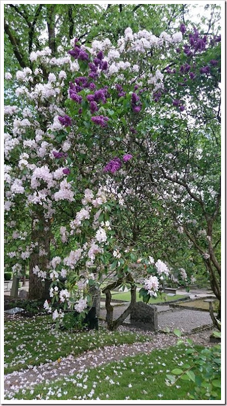 lilacs-and-rhododendron2