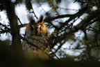 L'OEIL VIF   Les Hiboux moyen-ducs se regroupenet en hiver sur des dortoirs pouvant abriter jusqu'à plus de 100 individus ! ici, ils sont 4... Et voilà l'un d'entre eux, intrigué par ma présence au pied de l'arbre !
