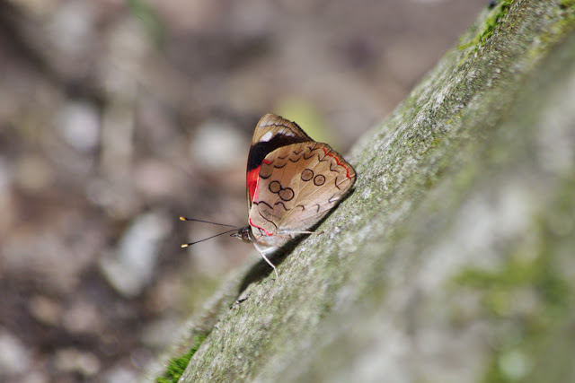 Diaethria pandama (E. Doubleday, [1848]). Mount Totumas, 1800 m (Chiriquí, Panamá), 23 octobre 2014. Photo : J.-M. Gayman