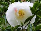 白色地 僅かに薄紅色の縦絞り 弁端に細かい皺 八重咲き 中輪 桜葉