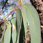 Gum leaves (216749)