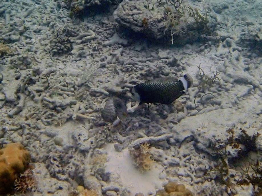 Novaculichthys taeniourus (Rock Mover Wrasse), Entatula Island Beach Club reef, Palawan, Philippines.