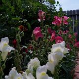 Gardening 2011 - 100_8592.JPG