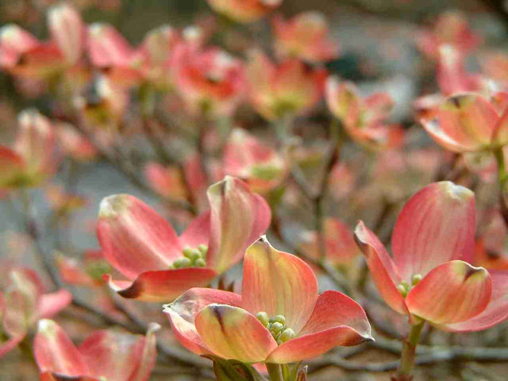 Pretty pink dogwood blooms