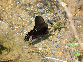 Photo: RUBY-SPOTTED SWALLOWTAIL--papilio anchisiades--RIO PINGULLO--id by Andrew NEILD