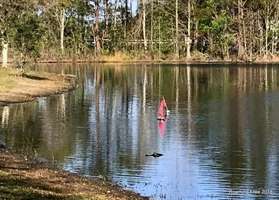 Alligator making his way toward the shore