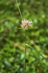 Tawny cottongrass (Eriophorum virginicum).